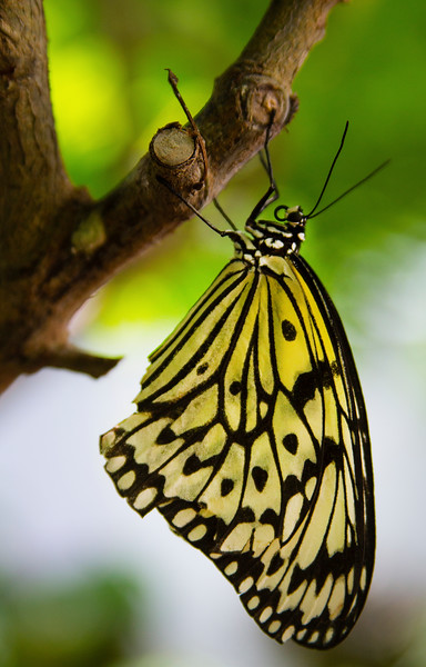 Yellow Butterfly And Stick2.jpg