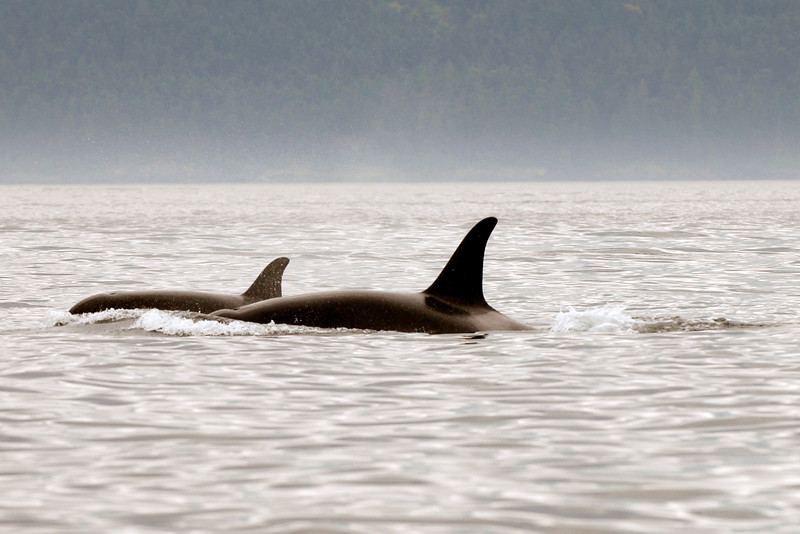 070902 8181B Canada - Victoria - watching killer whales from boat _F _E ~E ~L.jpg