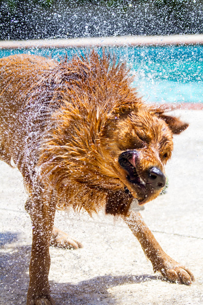 Golden Retriever dog shaking off water after swimming in pool - USA - California