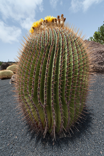 Detailed shot of a cactus in Cactus Garden, Lanzarote, Spain