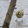 Golden-crowned Kinglet on Ice