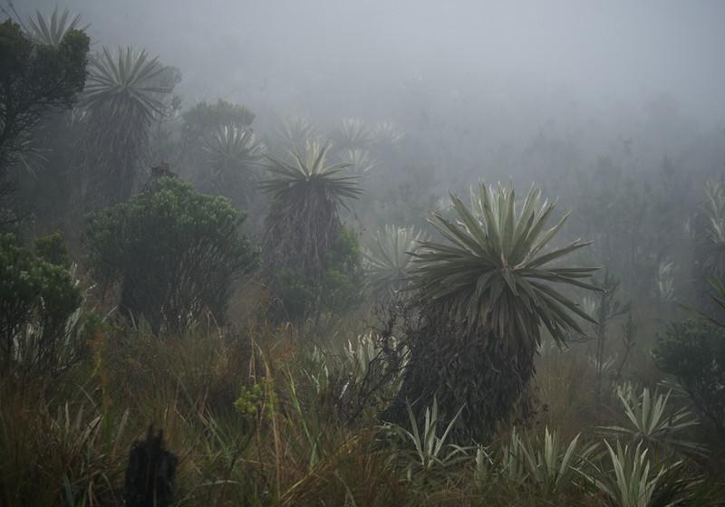 fog and frailejones