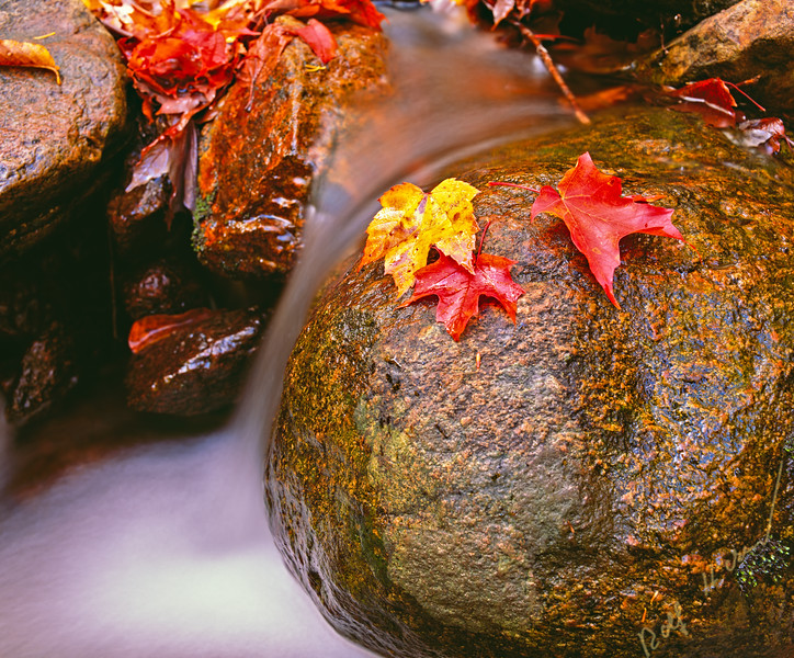Red and yellow fall leaves beside a small fresh water stream in beautiful Bay of Fundy National Park in New Brunswick, Canada