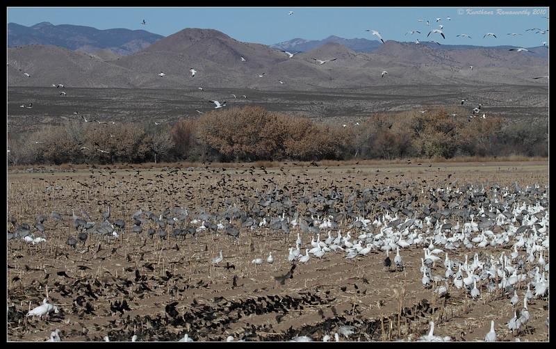 Snow Geese, Sandhill Cranes and Red-winged Blackbirds, Bosque Del Apache, Socorro, New Mexico, November 2010