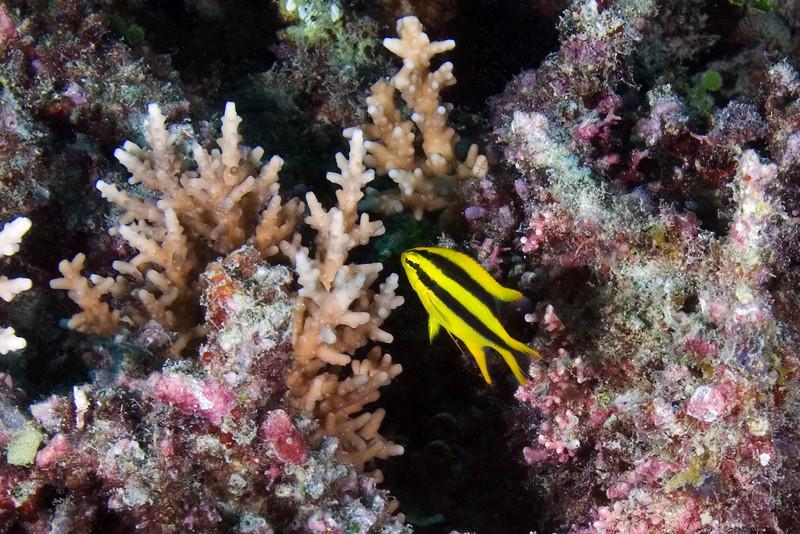 Yellowtail Damsel juvenile.jpg