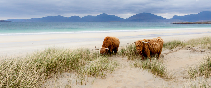 cows on holiday.jpg