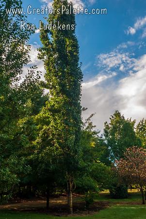 Populus tremula 'Erecta' (Swedish Columnar Aspen)