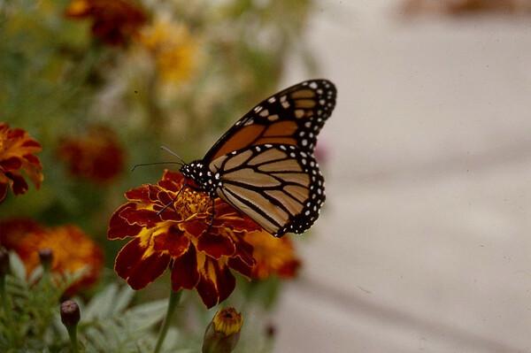 Monarch on Flower by Millie C. Shaffer
