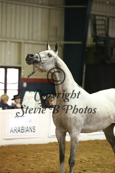 18 1 Arabian Mares 5 & Over