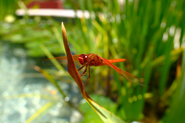 Getty Villa - Red Dragon Fly