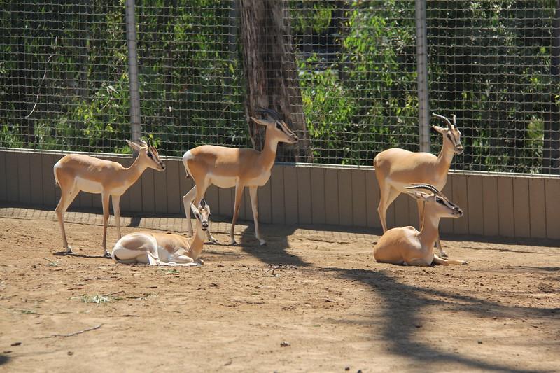 20170807-053 - San Diego Zoo - Antelope.JPG