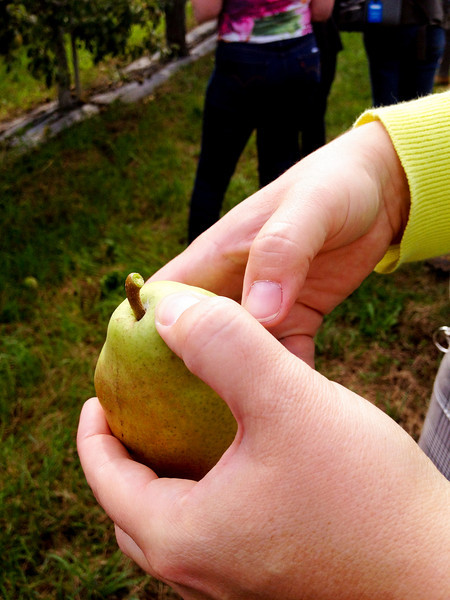 how to pick a pear.jpg