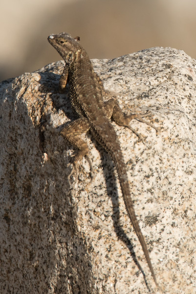 Western Fence Lizard basking on the brick-a-brac lining the river channel embankment