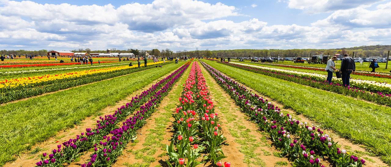 荷兰岭农场(Holland Ridge Farms, NJ),郁金香海洋