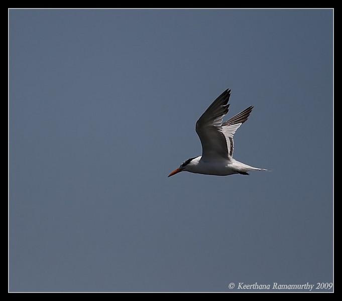 Elegant Tern, Coronado Ferry Landing, San Diego County, California, April 2009