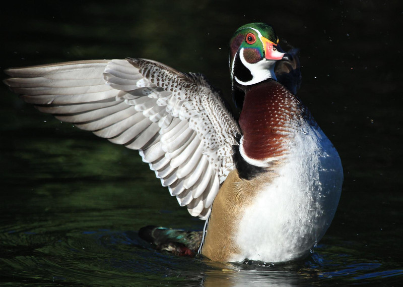 ZHermann Park Wood Duck, Oct 13, 2011 201A, SMALL FILE.jpg