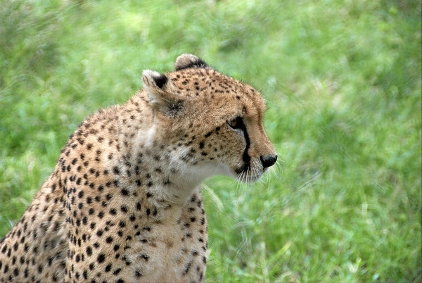 The Ann van Dyk Cheetah Centre - De Wildt