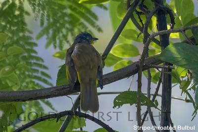 Stripe-throated Bulbul, Keang Krachan National Park, Thailand