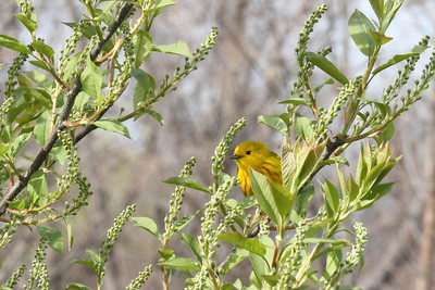 Bradocks Bay Spring Migration