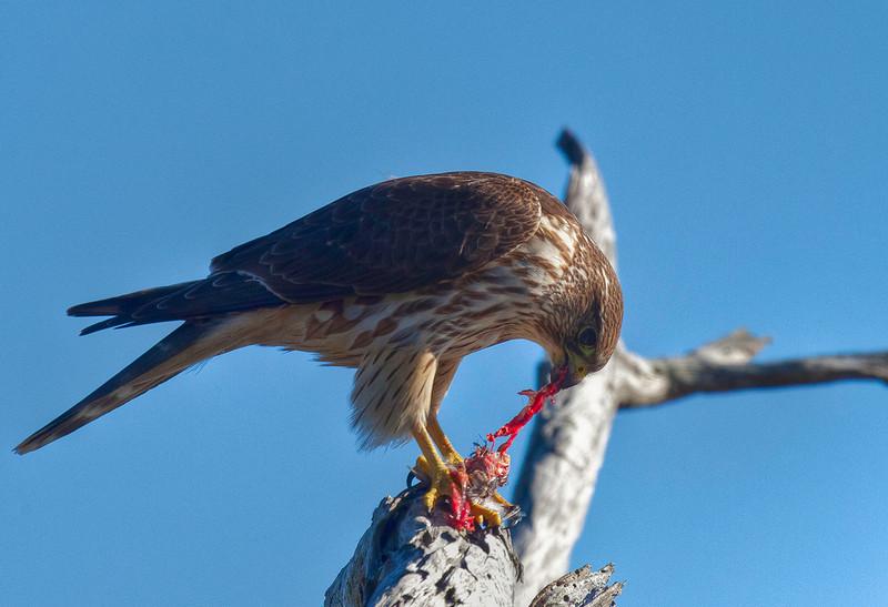 hawk 1-6-2012 2.jpg