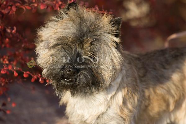 LB Carin Terrier