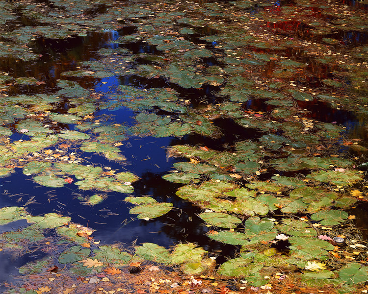 Lily Pads and Leaf Reflections I