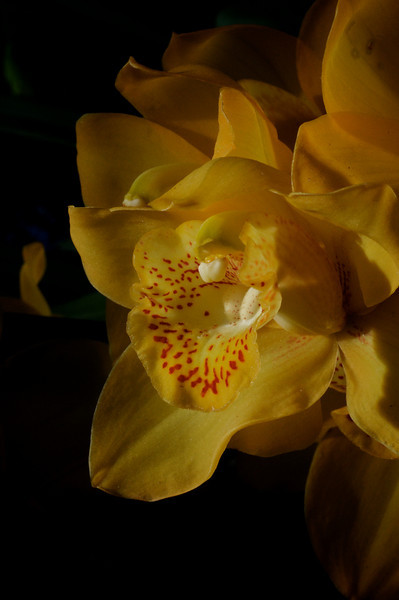 Bronx Botanical Gardens - Orchid Show