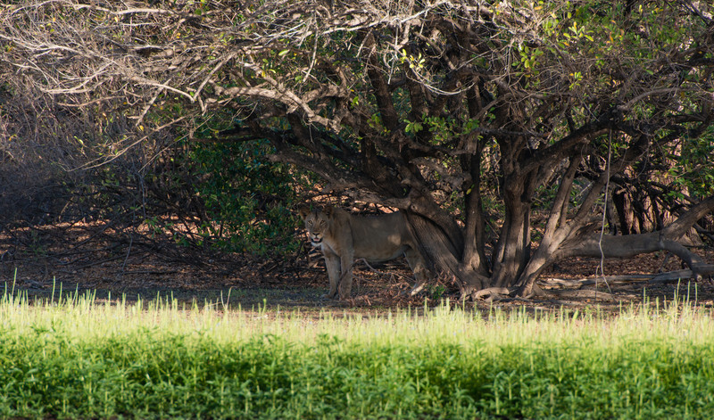 Lioness under a tree