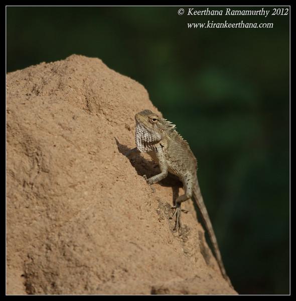 Variable Agama done eating, Chamundi Hills, Mysore, Karnataka, India, May 2012