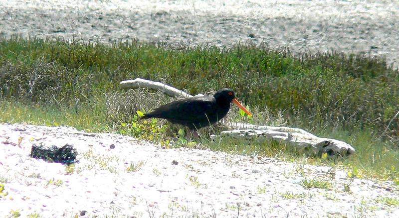 5OystercatcherVariable825 Nov. 23, 2009  9:57 a.m.  P1050825 Variable Oystercatcher, Haematopus unicolor.  Miranda - Shorebird Center.