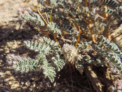Soft Prairie Clover (Dalea mollissima)