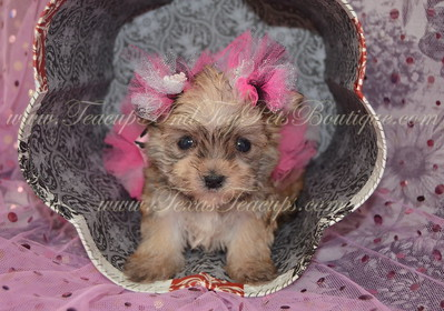 Female Morkie Puppy # 3131