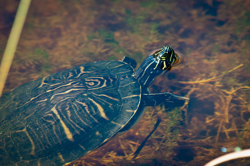 Florida Chicken Turtle at Ding Darling Bailey Tract
