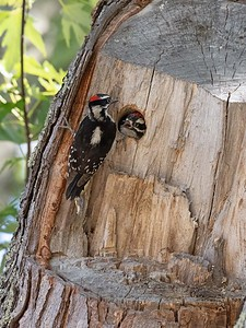 Penny's Woodpeckers