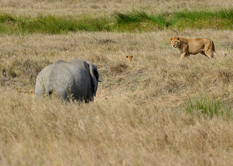 Lioness-and-cub-wary-of-elephant.jpg
