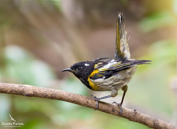 Hihi/Stitchbird (NZ)
