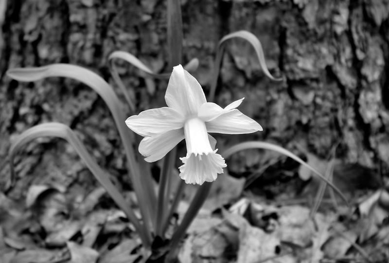 IMG_6815 Daffodil B&W.jpg