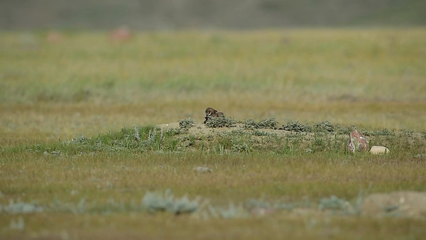 7-9-15 Videos Burrowing Owls
