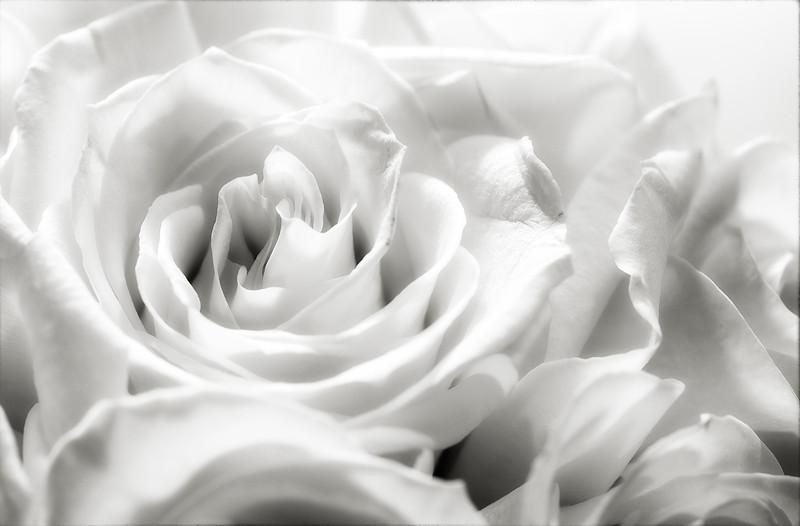 cream-roses-04.jpg