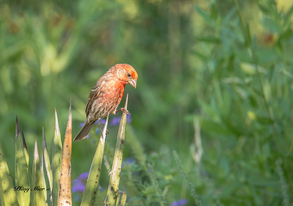 House Finch cactus_DWL8460.jpg