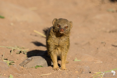 Slender Mongoose Pose