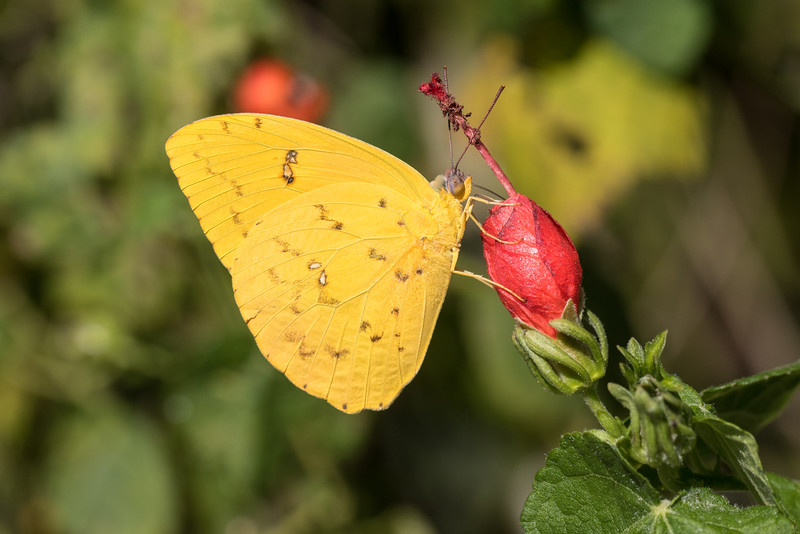 Orange-barred Sulphur - Phoebis philea