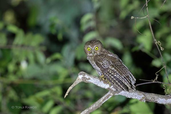 Mindoro Hawk-Owl