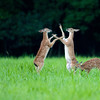 Two whitetail deer fawns spar while a third grazes in a meadow