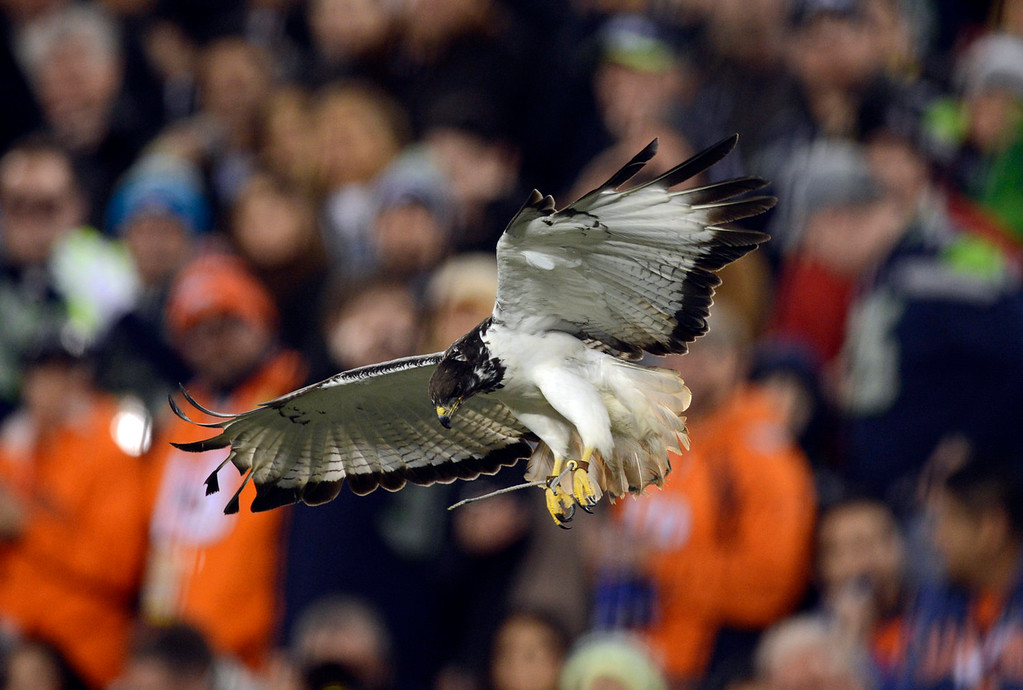. A sea hawk flies in the stadium prior to the start of the game.  The Denver Broncos vs the Seattle Seahawks in Super Bowl XLVIII at MetLife Stadium in East Rutherford, New Jersey Sunday, February 2, 2014. (Photo by AAron Ontiveroz/The Denver Post)