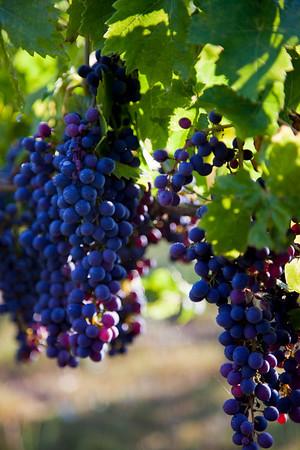 Grapes On The Vine, September 11, 2010