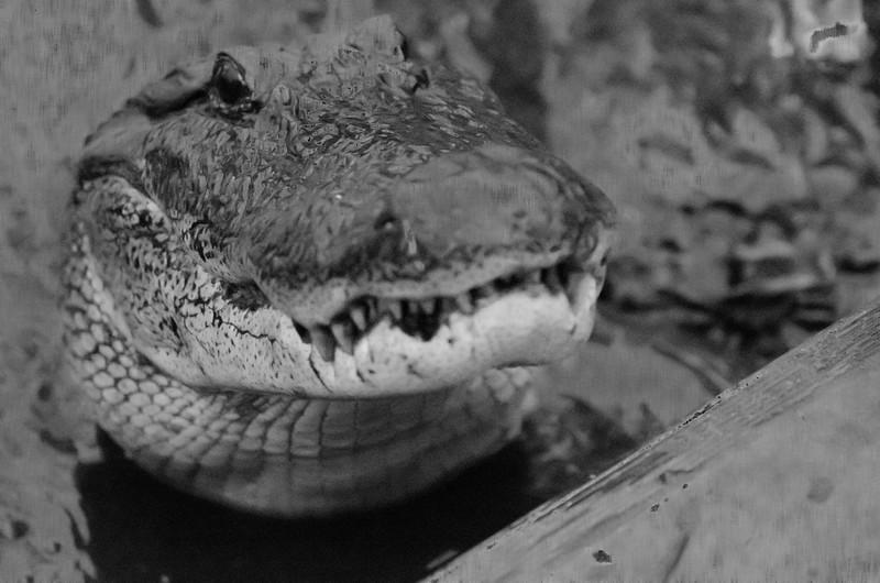 Louisiana gator #4