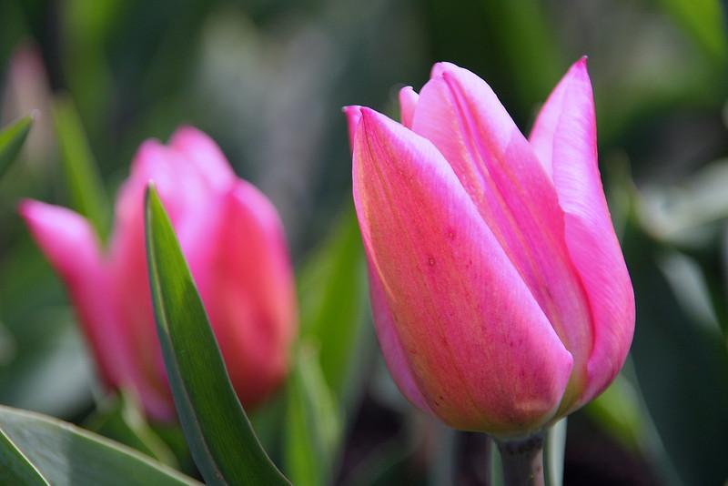Tulips 08 002.JPG