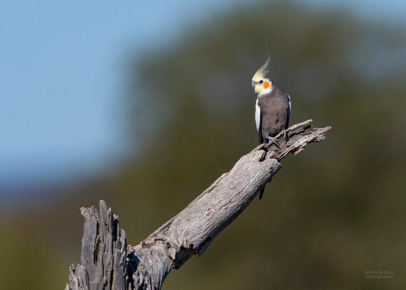 Cockatiel, Lake Cargelligo, NSW, Aus, Oct 2018-6.jpg