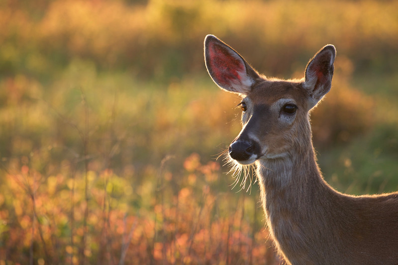 Whitetails in the Wild - 59.jpg